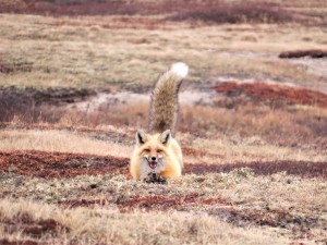 1. Live-capture of red fox